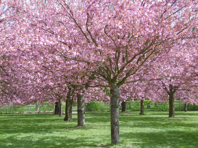 Cherry tree in bloom  Parc de Sceaux