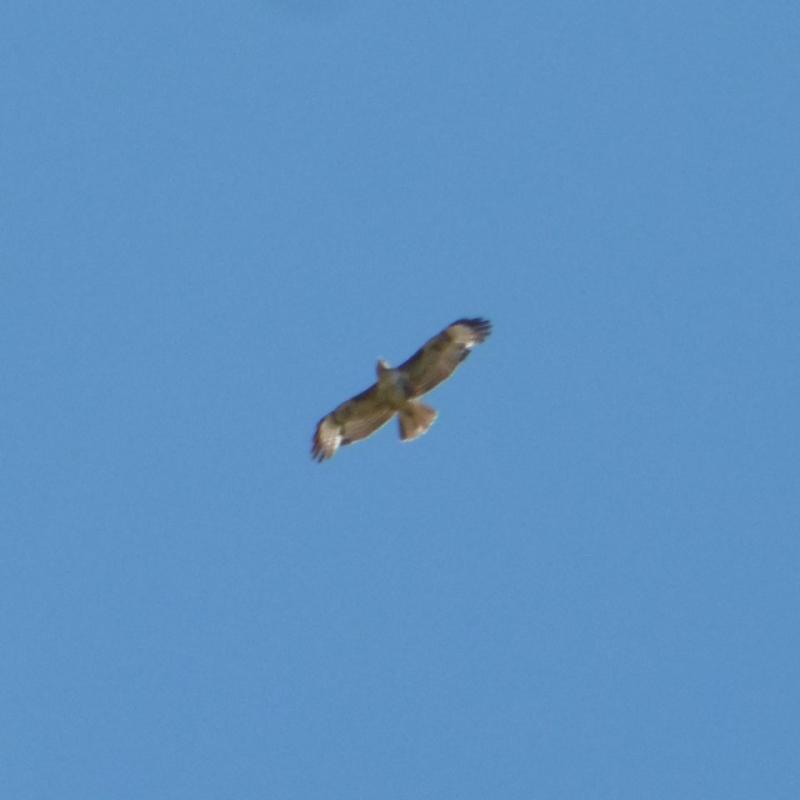 A Bonelli's eagle